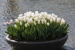 White tulips flowres in the pond in front of the Rijksmuseum in Amsterdam Stock Photos