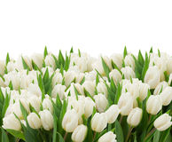 White tulips Stock Photos