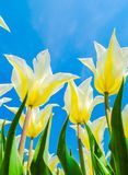 White tulips. In garden and blue sky Stock Photo