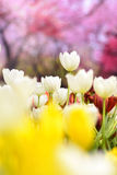 White tulips in the garden. Stock Photography