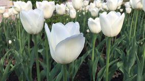 White tulips in the garden. At the spring stock footage