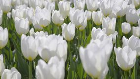 White tulips outdoors in sunny light. Camera movement stock video footage