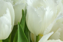 White tulips with green leaves. Yellow stamens, photographed close, bouquet Stock Photos
