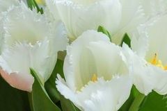 White tulips. With green leaves, yellow stamens, photographed close, bouquet, flowers Stock Images