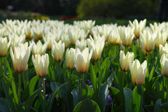 White tulips growing in the flowerbed in the garden in the evening sun Stock Photos