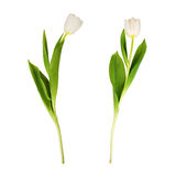 White tulips isolated. Royalty Free Stock Image