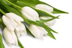 White tulips. Isolated on white background close-up Royalty Free Stock Image