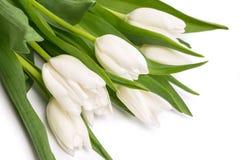 White tulips. Isolated on white background close-up Stock Image
