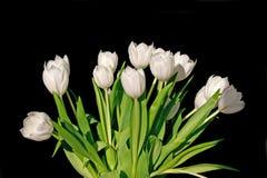 White tulips isolated on black background Stock Photos