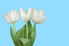 White tulips isolated on a blue Royalty Free Stock Photo