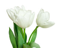 White tulips isolated on a white Royalty Free Stock Images