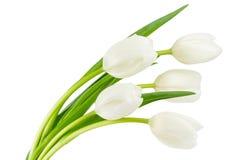 White tulips isolated on white Royalty Free Stock Photography