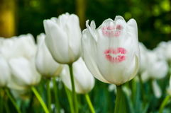 White tulips with kiss trace, Keukenhof Park, Lisse in Holland Stock Image