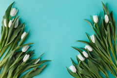 White tulips lay in row on plain background Royalty Free Stock Image