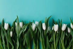 White tulips lay in row on plain background Stock Images