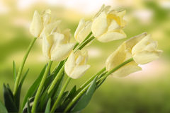 White tulips in meadow Royalty Free Stock Images