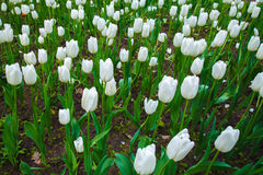 White tulips, meadow with flowers, buds of tulips. Lawn, beds of flowers. Flowers in the open air, the flowers in the garden. Garden decorative flowers in the Stock Image