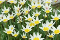 White tulips. natural background. fullframe. vintage retouch. White tulips. natural background. fullframe. vintage retouch Stock Image