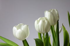 White tulips. One  white background Royalty Free Stock Images
