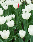 White tulips and one of them with single red petal Stock Photo