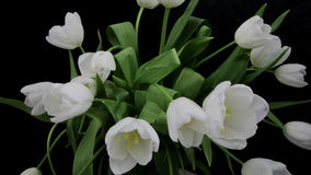 White Tulips Opening. Time lapse 4k stock video