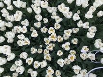 White tulips. Overhead view of field of white tulips in farm field Stock Photo