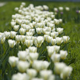 White tulips in the park Stock Images