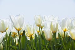 White tulips. In the park Royalty Free Stock Images