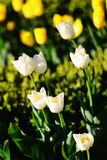 White tulips in the park Stock Photography