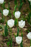 White tulips. Royalty Free Stock Image