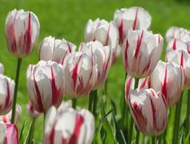 White Tulips with Pink, Red Striping. 20130426. White tulips with pink and red striping with green background, stems prominent. Baltimore, MD, USA royalty free stock image