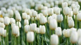 White tulips royalty free stock image