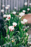 White tulips with red stripes Royalty Free Stock Photography