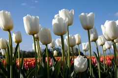 White tulips and red tulips Royalty Free Stock Images