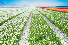 White tulips rows in summer time, Netherlands Stock Photos