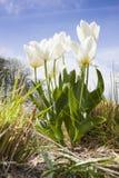 White tulips in spring Stock Photos