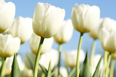 White tulips in spring time Royalty Free Stock Photography