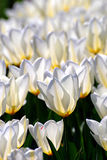 White tulips in the sun. View of transparent white tulips Stock Photography