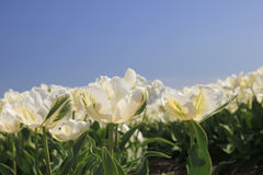 White tulips in the sun Royalty Free Stock Photos