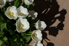White tulips in the sun Royalty Free Stock Image