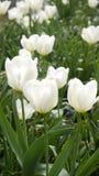 White tulips. Royalty Free Stock Photo