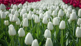 White tulips swaying in the wind stock video