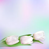 White tulips. Three white tulips on a light colored background. Vector realistic flowers Royalty Free Stock Images