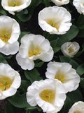 White tulips. White tulip fields in the Netherlands royalty free stock photography