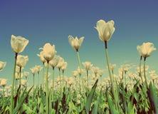White tulips - vintage retro style Stock Image