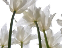 White tulips on white. White translucent tulips on white background Stock Image