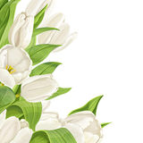 White tulips on white background Stock Photography