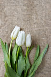 White tulips on wooden table Royalty Free Stock Photo