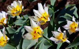 White tulips with a yellow center and pointed petals. Six pieces, grow in a park in the garden, against a background of brown earth, green leaves, a sunny day Stock Photography