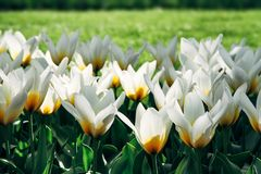 White tulips with yellow details and garden green grass out of focus background in Amsterdam, Netherlands during Spring Royalty Free Stock Photo